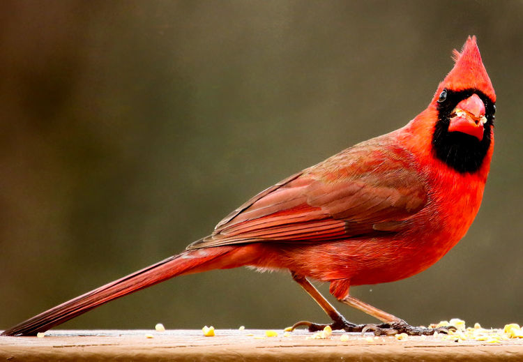 Indignant Elegant Indignant Red Bird Animal Themes Animal Wildlife Animals In The Wild Bird Bird Feeding Cardinal - Bird Close-up Colorful Bird Day Full Length Haughty Attitude Indignated Look Nature No People Northern Cardinal Male One Animal Outdoors Perching Plumed Red Red Feathers