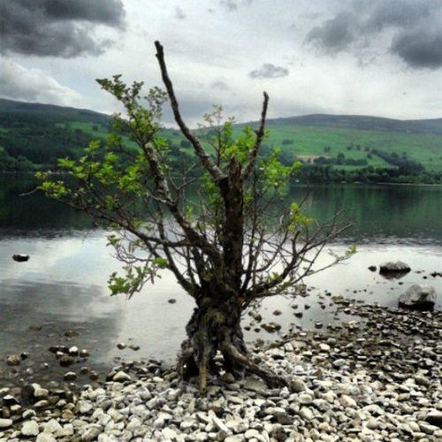 Lonely tree, Loch Tay Lonely Tree Loch Tay Scottish Scenery Trees