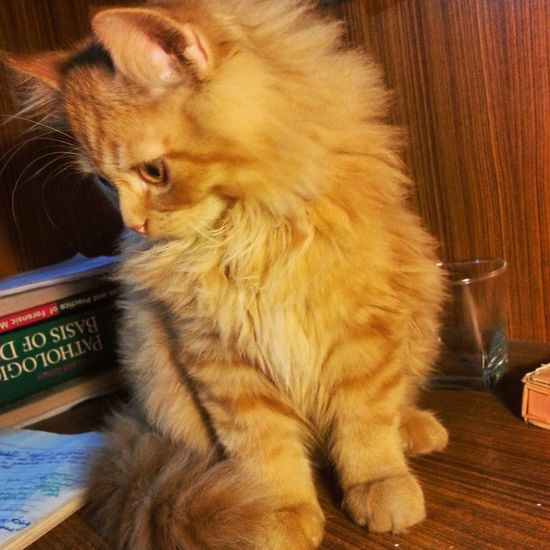 My Pet Cute Cats Ginger Cat Lovely Creature