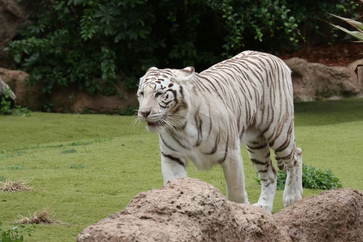 White tiger on grassy field in zoo