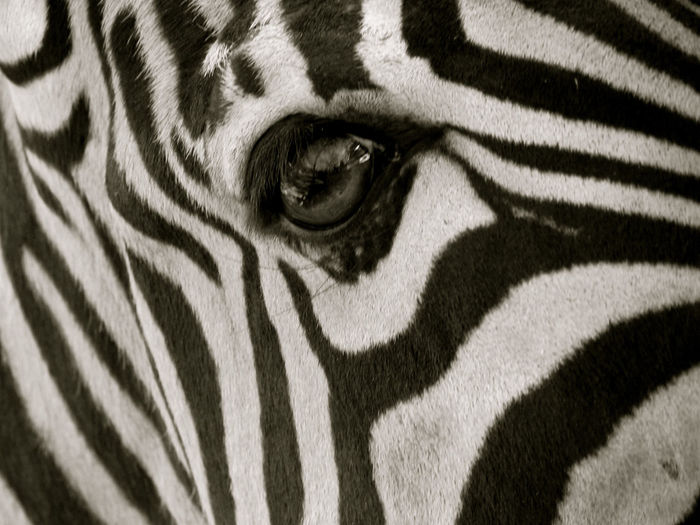 Animal Body Part Animal Head  Animal Markings Beauty In Nature Cebra Cebra Detalle Mammal Natural Pattern Noir Et Blanc Part Of Striped Zebra Zebra Zebra Auge Zebra Eye Zebra Stripes Zèbre Zèbre Oeil μαύρο και άσπρο черно-белое изображение עין הזברה حمار الوحش حمار وحشي العين 斑馬的眼睛 斑馬線