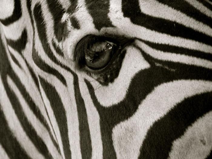 Animal Body Part Animal Head  Animal Markings Beauty In Nature Cebra Cebra Detalle Mammal Natural Pattern Noir Et Blanc Part Of Striped Zebra Zebra Zebra Auge Zebra Eye Zebra Stripes Zèbre Zèbre Oeil μαύρο και άσπρο черно-белое изображение עין הזברה حمار الوحش حمار وحشي العين 斑馬的眼睛 斑馬線