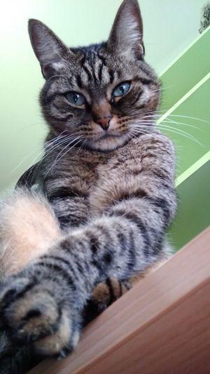 Pets Portrait Sitting Feline Domestic Cat Looking At Camera Cute Close-up