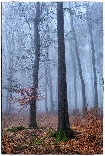 foggy forrest II Bare Tree Beauty In Nature Day Foggy Forest Landscape Lawoe Nature No People Outdoors Tranquil Scene Tranquility Tree Tree Trunk