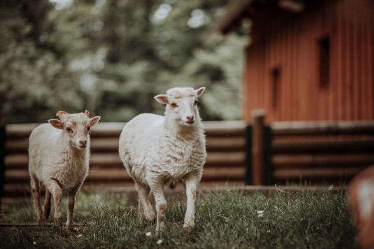 Sheep Running On Grassy Field