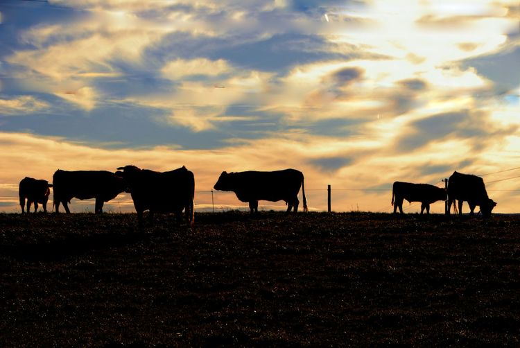 Sky Livestock