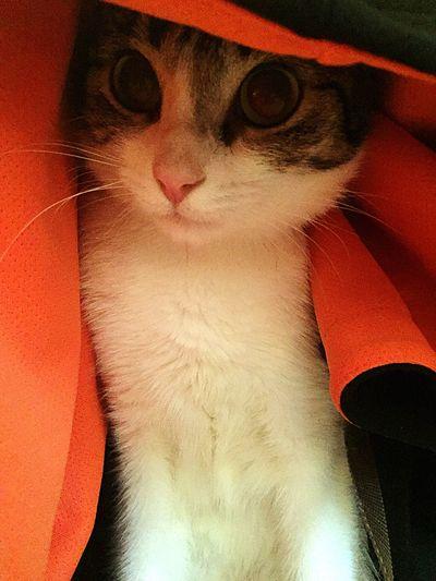 Arabian Mau  Our Best Pics Domestic Cat EyeEm Best Shots IPhoneography I❤️cats Eyeem Best Shots - Animals EyeEm Animal Lover Cat♡ Cat Lovers Cats Of EyeEm Cats 🐱 I ❤️ Cats I❤️Cat Beautiful Animals  Cat Animal Eye Cute Pets Pet Portraits