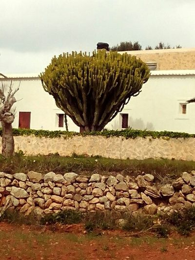 The Places I've Been Today Sta. Agnes Ibiza Cactus Tree