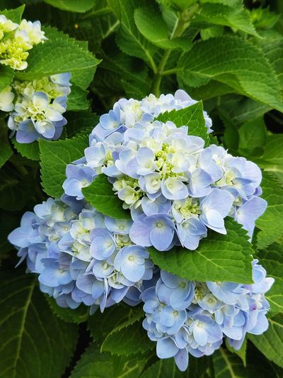 Flower Leaf Plant Growth Beauty In Nature Green Color Nature Hydrangea Freshness Close-up Day Outdoors Flower Head Fragility No People Blue Flowers Leaves Bunch Of Flowers Blooming Growth Green Leaf Nature Freshness Hydrengea