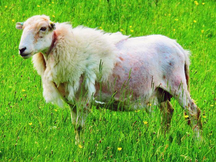 Sheep Livestock Animal Themes Grass Sheep🐑 Sheep Farm Sheepworld Sheared Sheep Wool Sheeps Sheepskin Sheepfarm Sheep In Field Sheep Meadow Shearing Shearingtime Farm Animal Farm Animals EyeEm Animal Lover EyeEm Best Shots Farm Life Farm Animal Close Up Livestock EyeEmBestPics Farming