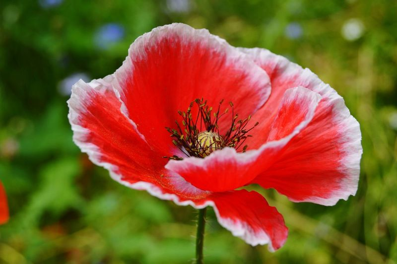 Flowers, Nature And Beauty Flowers Flower Photography Flowers,Plants & Garden Flowerphotography Beauty In Nature Nature Red Flower RedFlower Redflowers Poppy Flowers Poppies  Poppy Flower Nature Photography Flower Head Flower Poppy Red