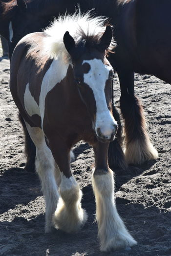 This little beauty is a Gypsy Gold Vanner - a highly unique breed and owned by Dennis Thompson. Beauty from head to hoof! Gypsy Gold Gypsy Gold Vanner Colt Horses Pony Animal Themes Horse Horse Photography  Nature One Animal