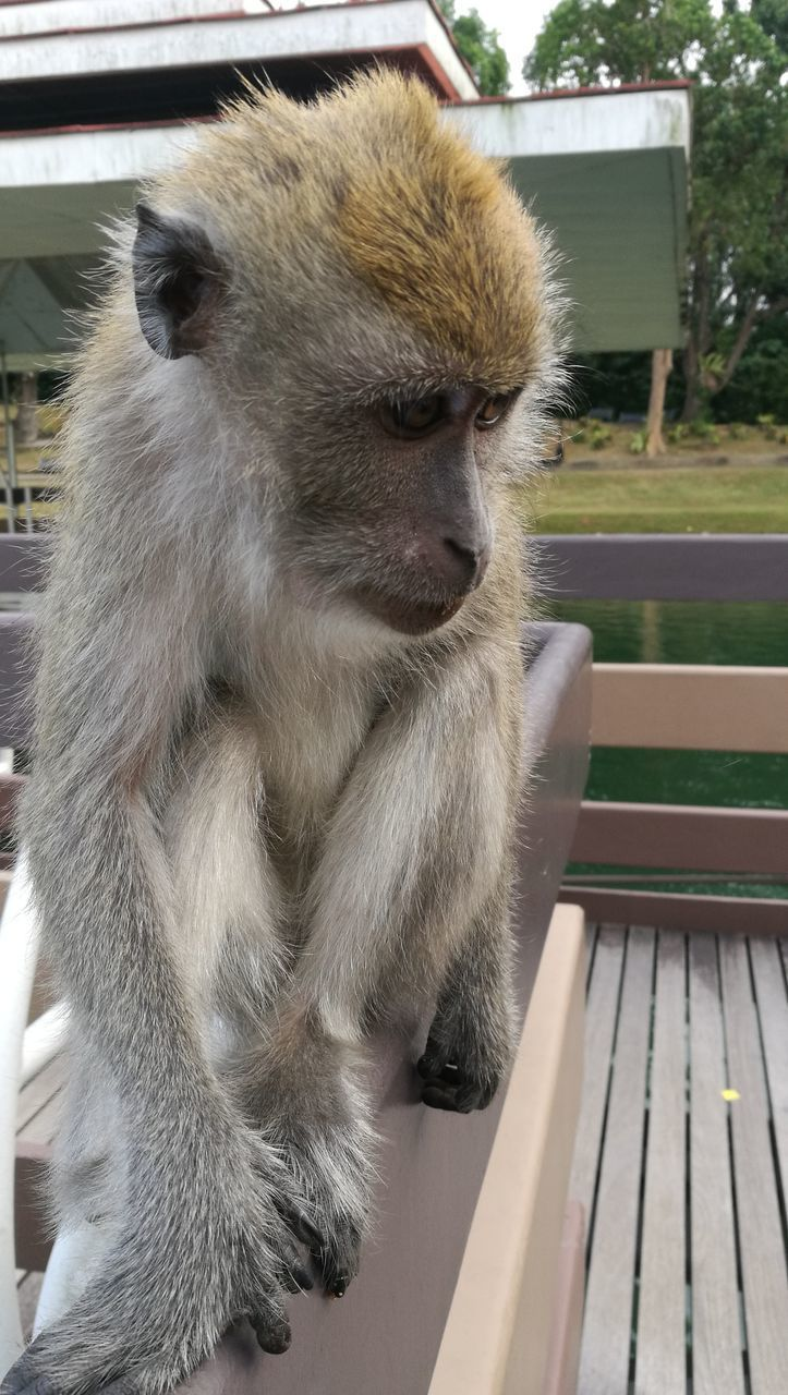 animal themes, animal, mammal, one animal, primate, animal wildlife, monkey, animals in the wild, vertebrate, day, focus on foreground, sitting, no people, looking, close-up, bench, outdoors, looking away, seat, nature, animal family