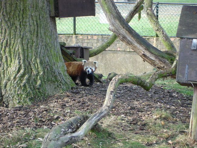 Animal Themes Branch Mammal One Animal Red Panda Tree Wildlife Wood