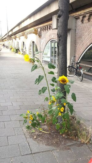 Flower Outdoors Day Yellow No People City Nature Beauty In Nature Amsterdam