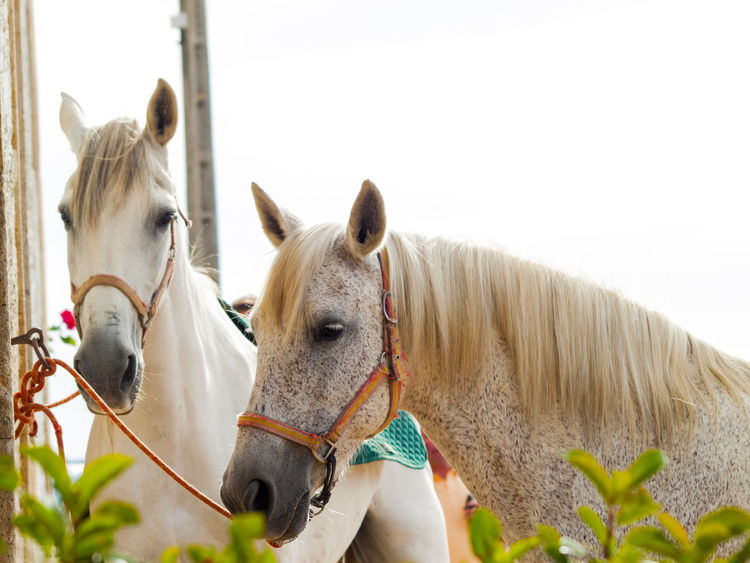 Animal Animal Themes Countryside Day Domestic Animals Environment Farm Farm Animals Farm Life Horse Horse Life Horses Male And Female Mammal Mare Nature No People Outdoors Sky Standing Together Togetherness Village Life White Horse Working Animal