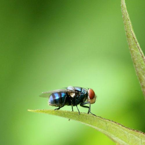 Common housefly, Udog_macro Momentcapturerz Ig_macro Insect_india