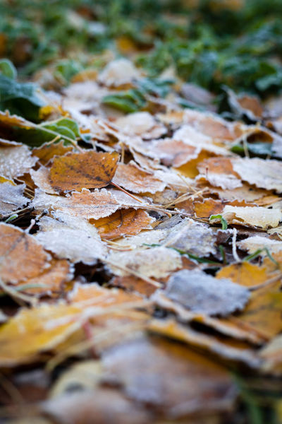Fall Beauty Fall Colors Freshness Frost Close-up Cold Day Fall Fall Leaves Leaf Nature No People Outdoors Selective Focus