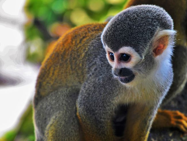 Nature Colombia Monkey Amazon River Rainforest Cute Saimiri Sciureus Squirrel Monkey Animals In The Wild Pet Portraits