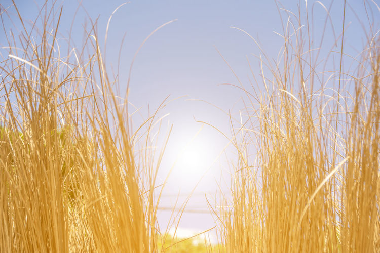 Beautiful Bright Farm Golden Nature Panorama Plant Wheat Backgrounds Beauty In Nature Clear Sky Close-up Fields Grass Harvest Nature Outdoor Outdoors Plant Season  Sky Summer Sunlight Sunrise Sunset