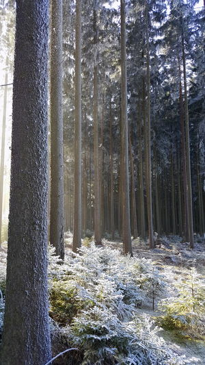 Beauty In Nature Czech Republic Day Falling Snowflakes Forest Frost Growth Landscape Nature No People Non-urban Scene Outdoors Scenics Sunlight Tranquil Scene Tranquility Tree Tree Trunk Winter WoodLand