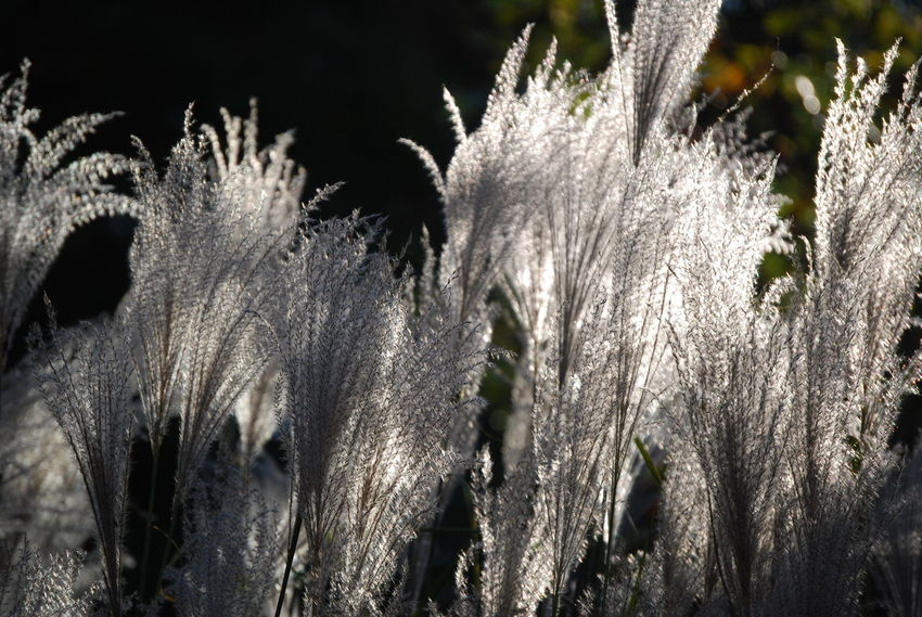 Grass Fountain Grass Light And Shadow Botanical Gardens Out For A Stroll