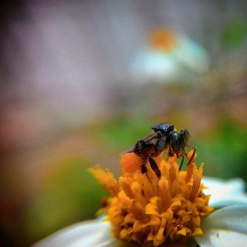 Bee with pollen ball... Bee Workerbee Flower Pollen pollenball morning macro detacheblemacrolens momsbackyard vscocam igers igersmalaya tigabikingambar