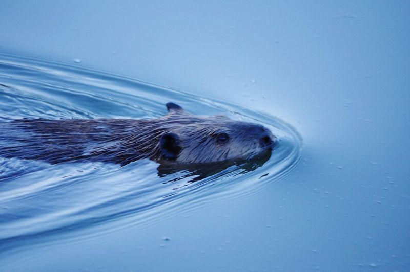 Beaver swimming in sea