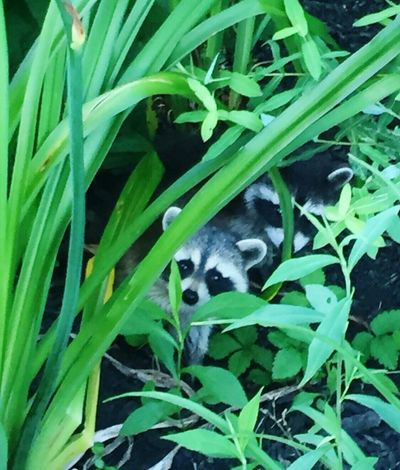 Baby raccoons hiding in the flower bed. Baby Raccoons
