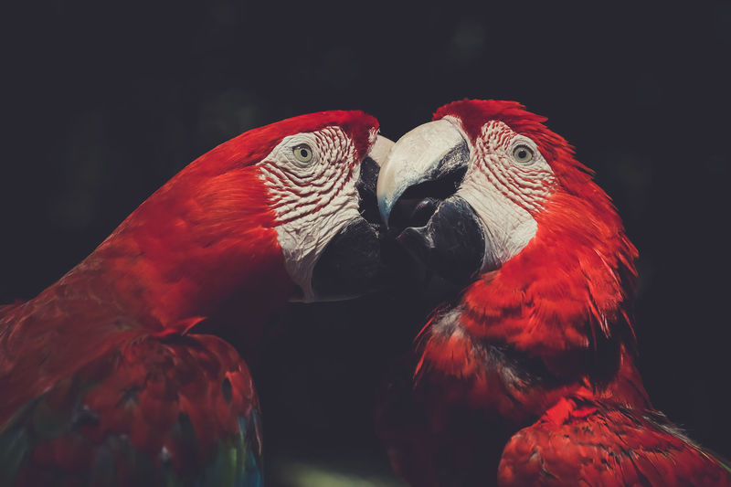 Scarlet macaws perching in forest
