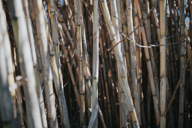 Arun Nature Plague Poaceae Spanish Cane Wild Cane Arundo Donax Cane Close-up Day Giant Reed Nature Outdoors