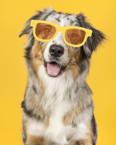 Portrait of a happy smiling australian shepherd dog wearing yellow summer glasses on a yellow background Smiling Australian Shepherd  Glasses Dog Portrait Portrait Pet Portrait Cute Dog  Animal Pets Dog Studio Shot Yellow Background Yellow Canine Smiling Dog