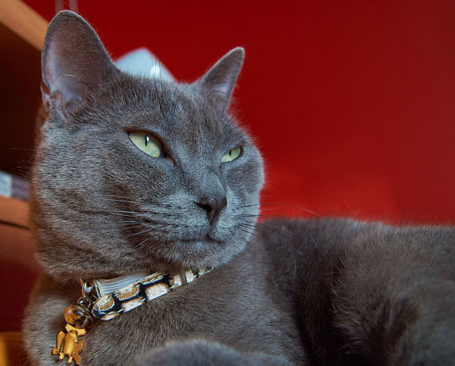 Cats Of EyeEm Russian Blue Catoftheday Cat Photography Catportrait