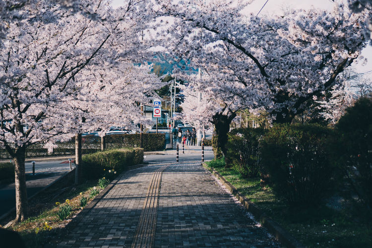 View of cherry blossom trees on footpath