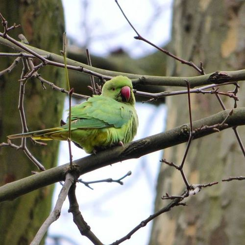 My first spot of London's now permanent residents, the ring-tailed Parakeet in Stjamespark Nature Wild Wildlife London Wildlondon Bird RSPB Feathers Rsa_nature