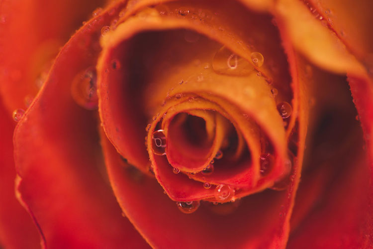 Full Frame Shot Of Wet Red Rose