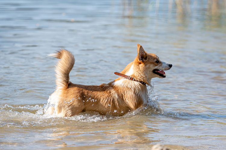 Side view of dog running in lake