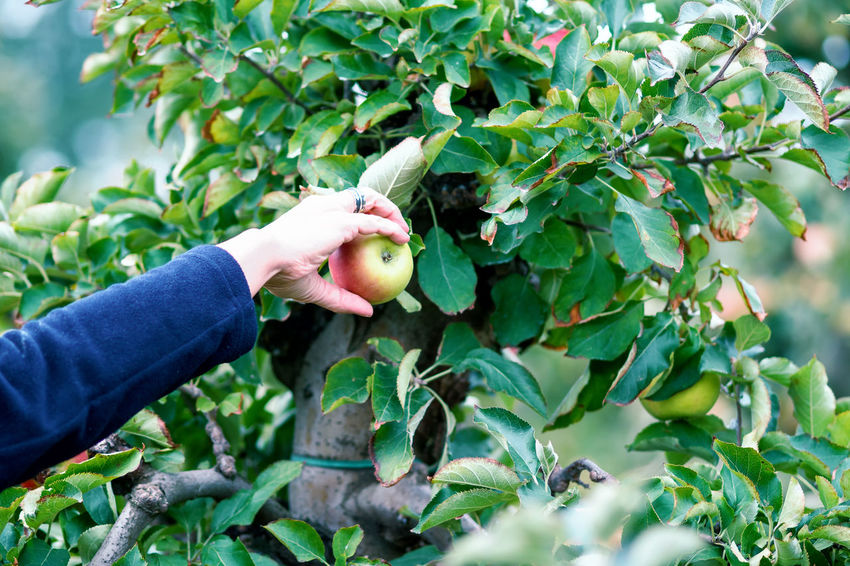 Apple Crop Autumn Mood Fruit Food Food And Drink Healthy Eating Freshness Day Wellbeing Hand Human Hand Leaf Plant Part One Person Human Body Part Green Color Plant Growth Holding Real People Picking Body Part Outdoors Finger Ripe