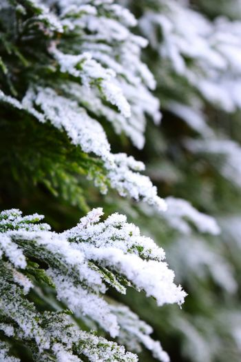 Winter Snow Cold Temperature Outdoors Beauty In Nature Bokeh From My Point Of View Autumn 2016 Showcase December December 2016 How's The Weather Today? Winter Is Coming... First Touch Of Winter The Places ı've Been Today How's The Weather Today It Is Cold Outside Beauty In Nature Frozen Winter Frosted Leaves Coniferous In My Garden White Color