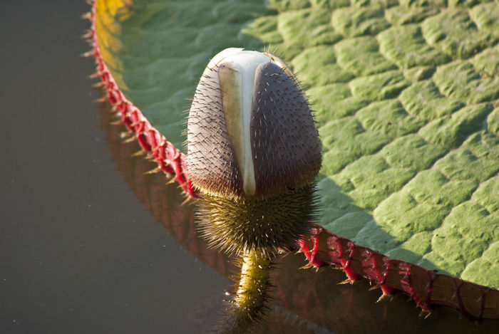 Victoria Regia, flower bud Riverside Amazonia Beauty In Nature Close-up Day Flower Flower Bud Giant Plants Growing Flower Lake Leaf Nature No People Outdoors Riverside Wildlife Water
