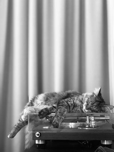 Cat loves viny