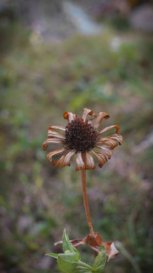 Still a beauty Still A Beauty. Flower Head Flower Wilted Plant Close-up Plant Dried Plant Dead Plant Dry Wilted Dried Plant Life Wildflower