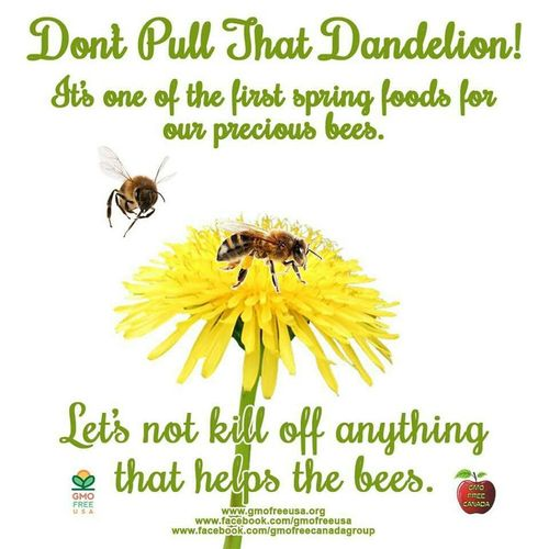Thoughtoftheday Thoughtfortoday Dandelion Nature Bee