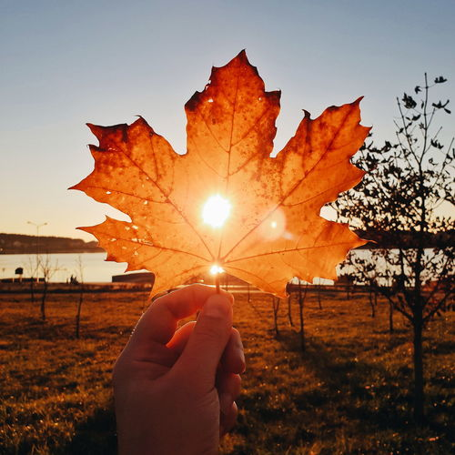 Person holding maple leaves during sunset