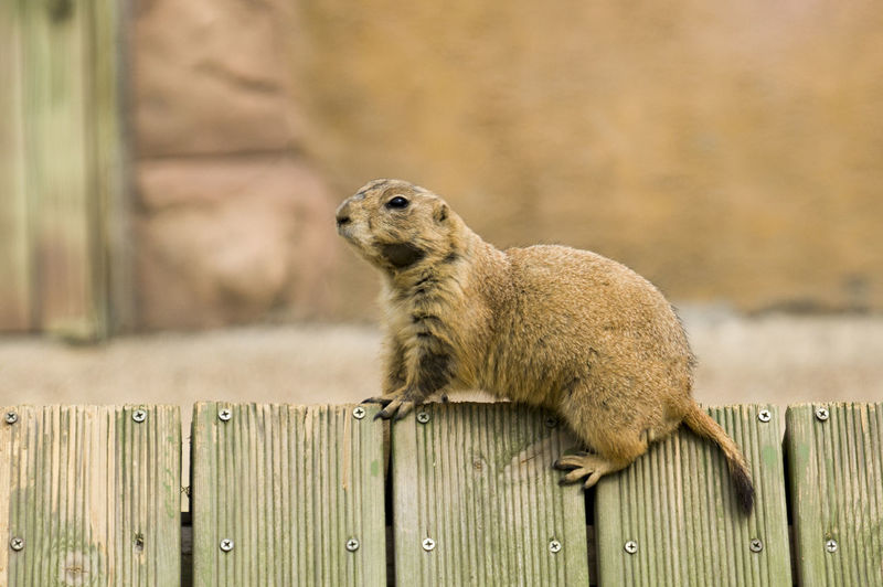 prairie dog Profile View Whisker Full Length Boundary Animals In Captivity Close-up Outdoors Looking Away Brown Looking Rodent Day No People Wood - Material Vertebrate Focus On Foreground Animals In The Wild Mammal Animal Wildlife Animal Animal Themes One Animal