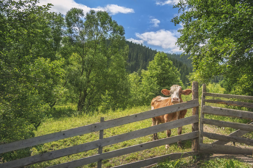 Summer landscape with a curious cow, behind an old wooden fence, surrounded by green nature, and the Carpathians in the background, in Romania. Carpathian Mountains Carpathian Nature Carpathians Farm Animals Cattle Countryside Cow Domestic Animals Landscape Landscapes Livestock Mammal Mountain Nature No People Rural Scene Spring Summer