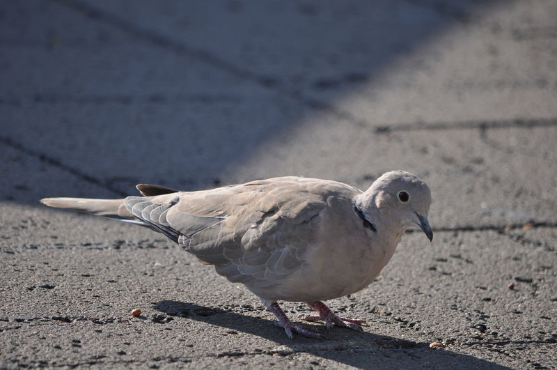 Close-up of mourning dove on footpath