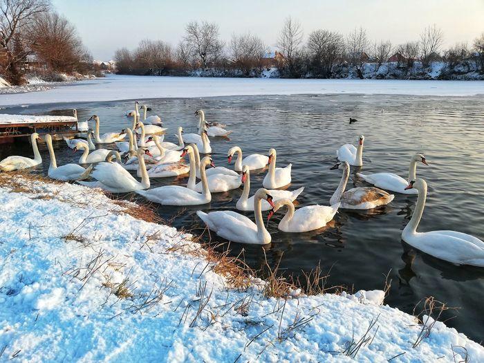 Swan Flock Of