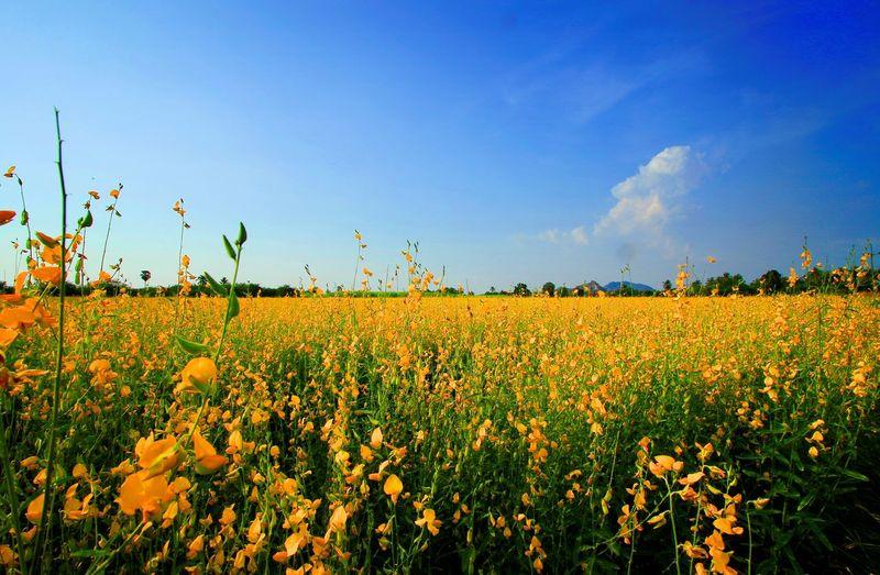 Sky Plant Yellow Flower Nature Flower Upcountry Flowe Landscape Bluesky