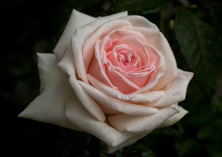 🌹Friendship🌹around🌹the🌹world🌹 Outdoor Photography Close-up Botany Beauty In Nature Flower Head Flower Rose - Flower Petal Close-up Plant Rose Petals Dew Single Rose Drop Focus Wet Water Drop Droplet In Bloom Pale Pink